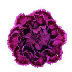 Nobbio Violet