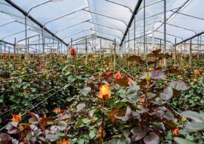 rosas-finca-e1502827936695