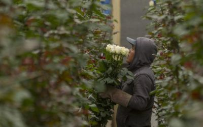 Ecuadorian Roses: The best in the world